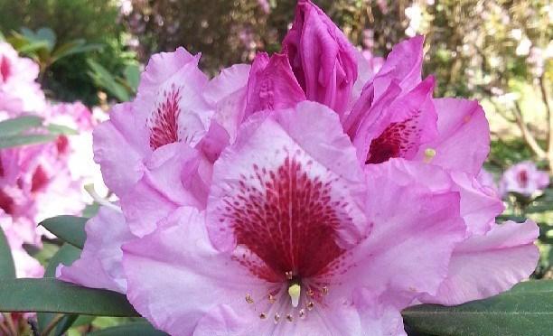 Rhododendronblüte in Weiß mit Pink