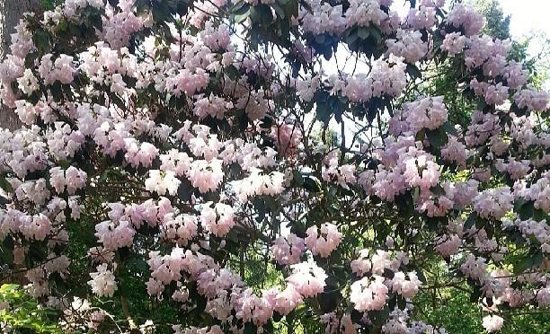 Weiß-Pinke Rhododendron im Forstbo