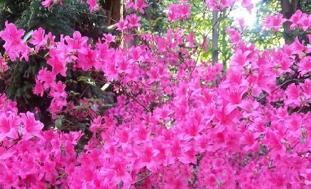 Pinkes Blütenmeer im Forstbotanischen Garten